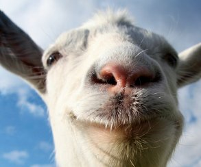 Чамп и Бейсовский попрыгают через козла на стриме по Goat Simulator